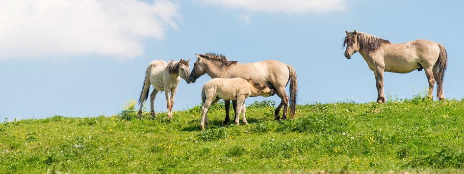 Konikpaarden in de Grensmaas