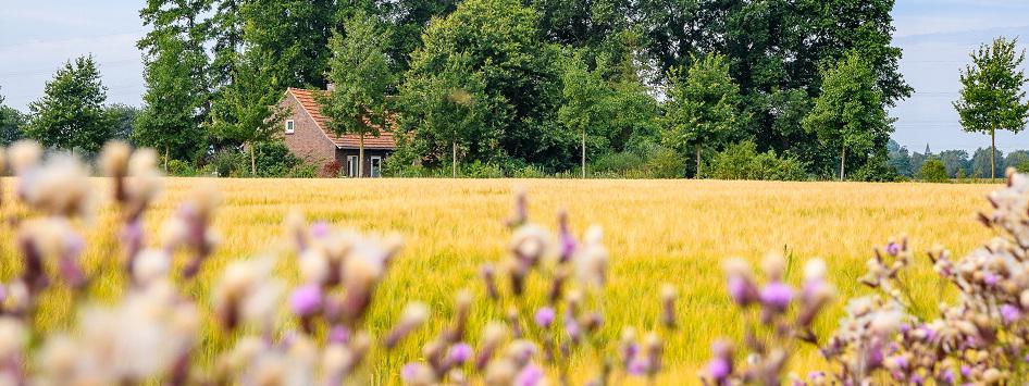 Korenveld en boerderij op de achtergrond